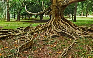tree-health-service-exposed-roots